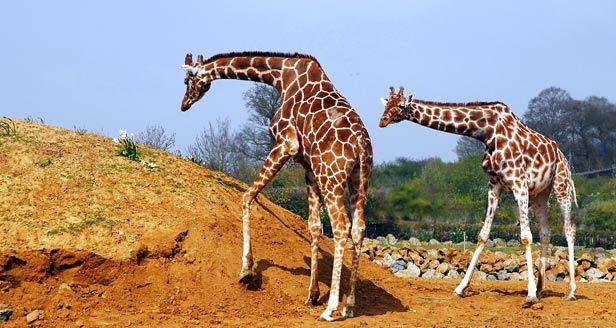 african-animals-for-kids-giraffe